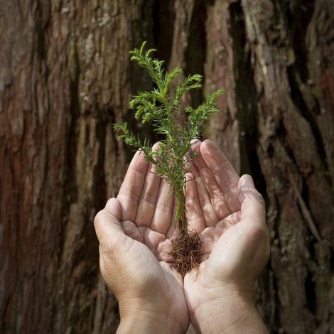 redwood sapling in hands