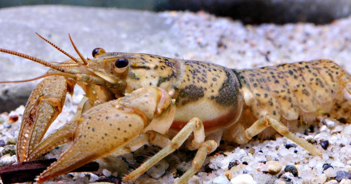 Big Creek crayfish