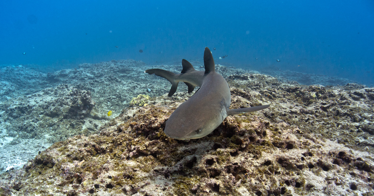Whitetip reef shark in Hawai'i
