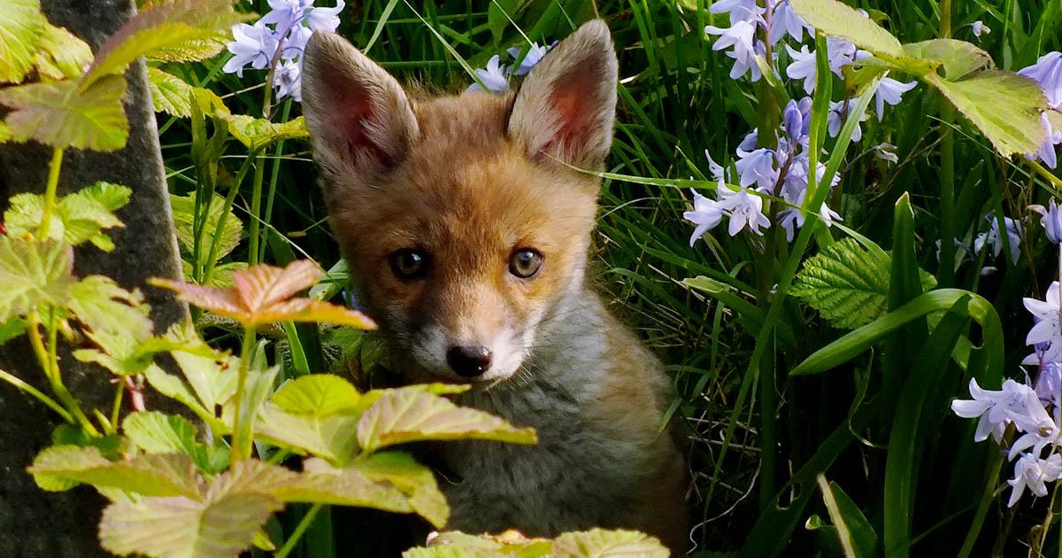 Baby fox in foliage