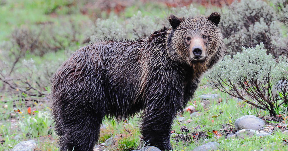 Yellowstone grizzly bear cub