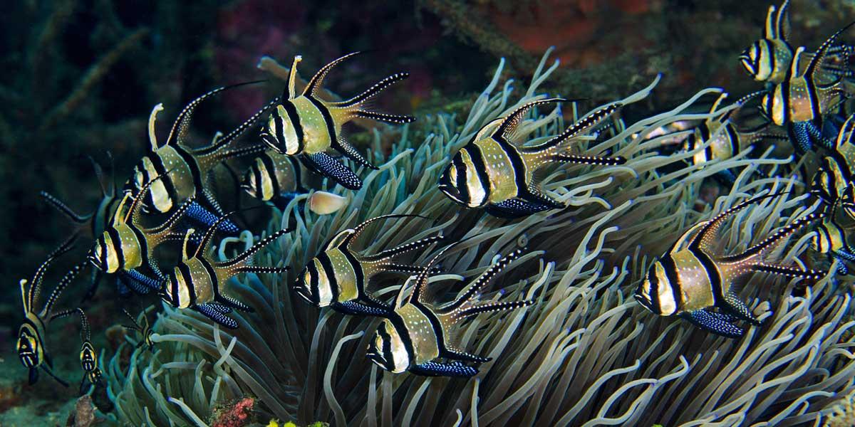 Banggai cardinalfish and coral