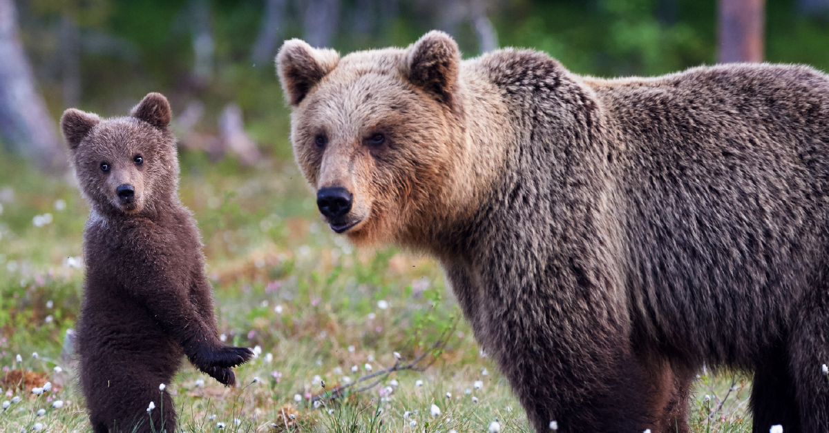 Grizzly with cub