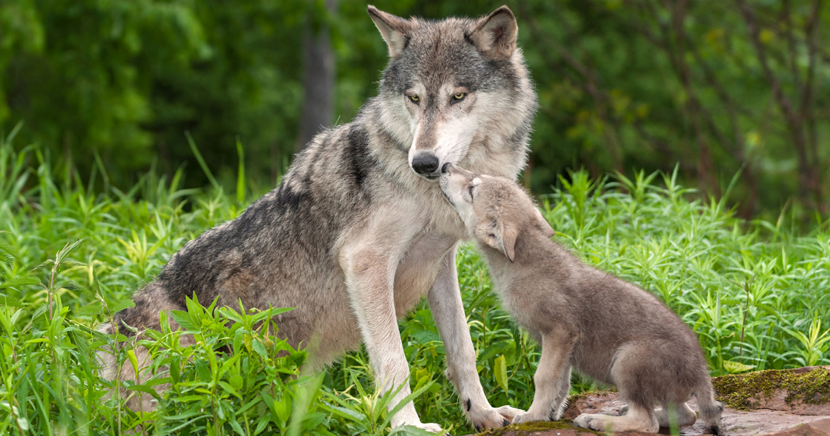 Gray wolf and wolf pup