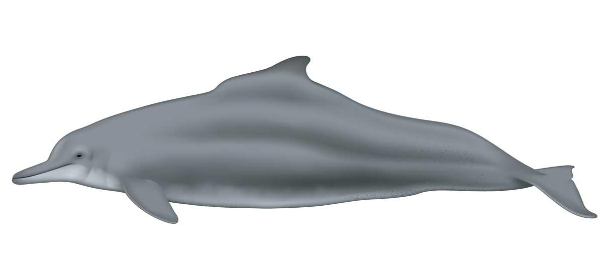 Atlantic humpback dolphin illustration