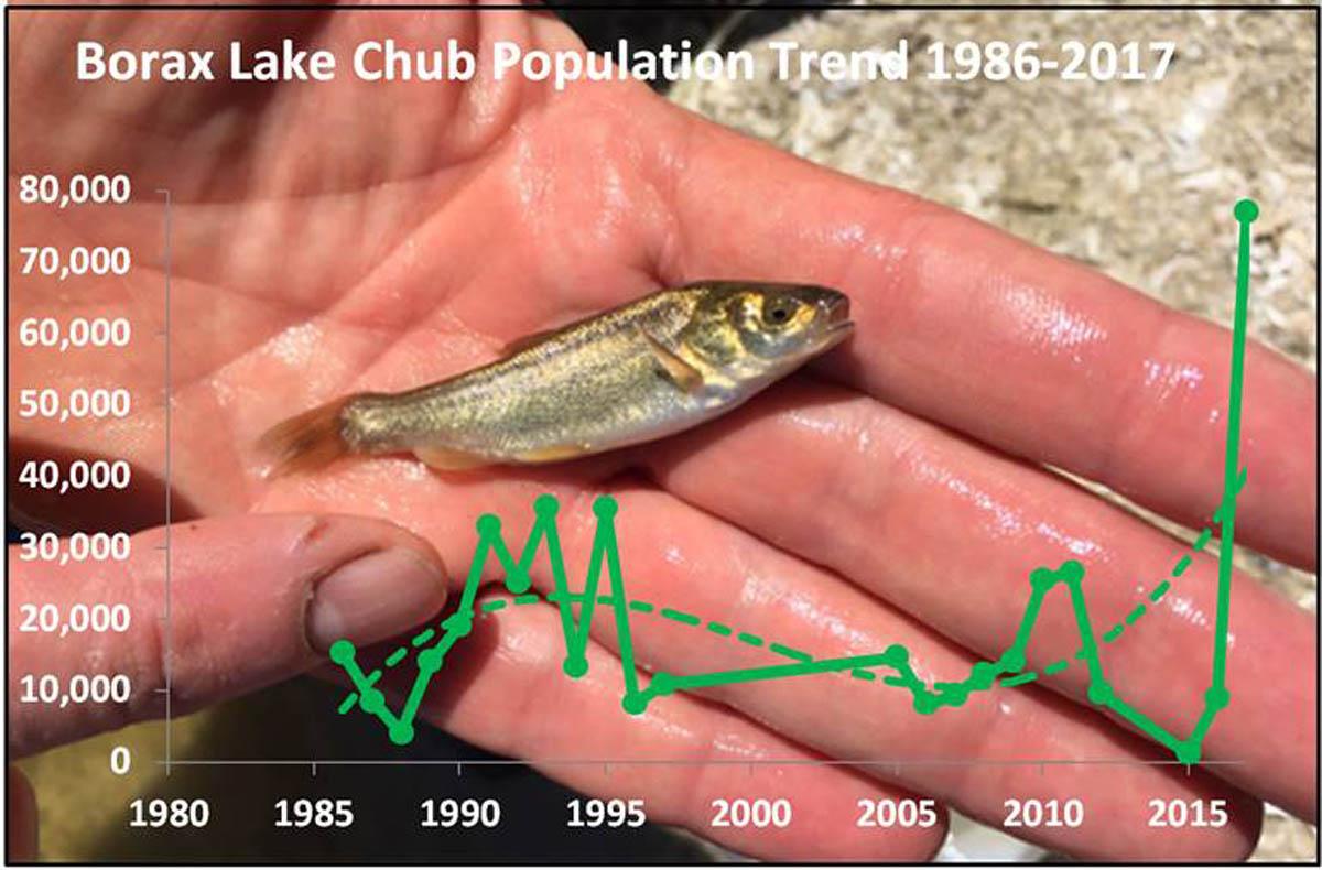 Borax Lake chub