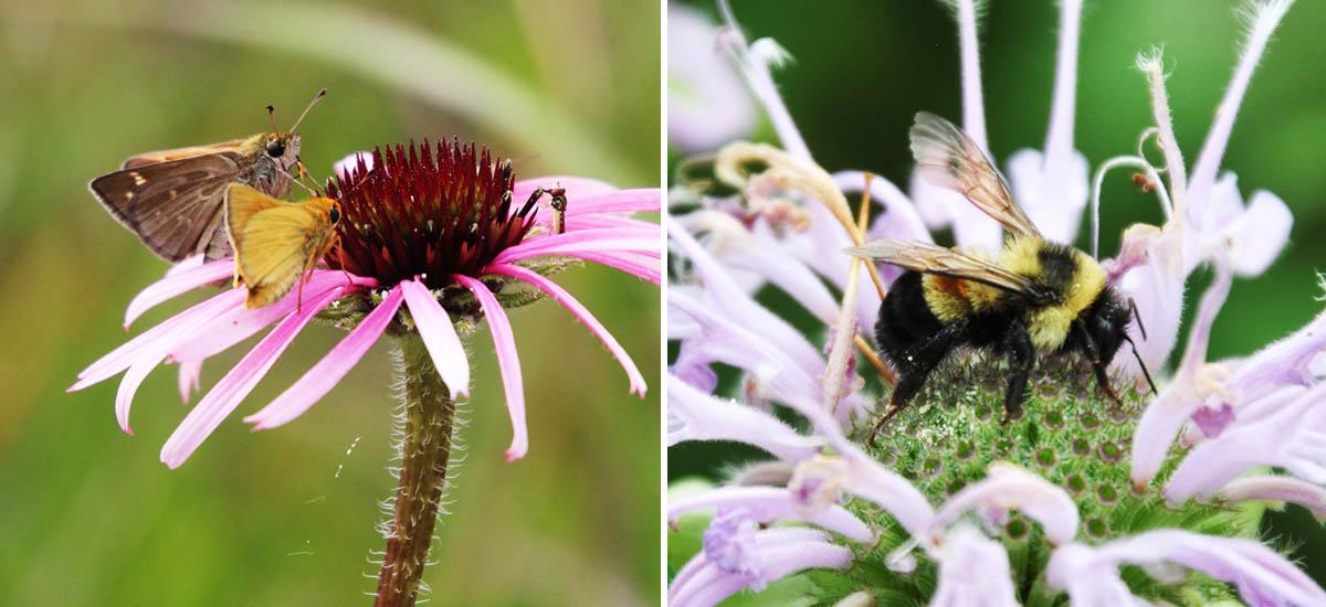 Dakota skipper and rusty patched bumblebee