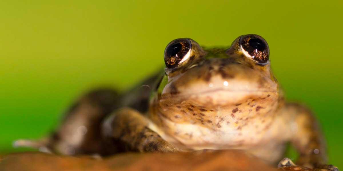El Rincon stream frog