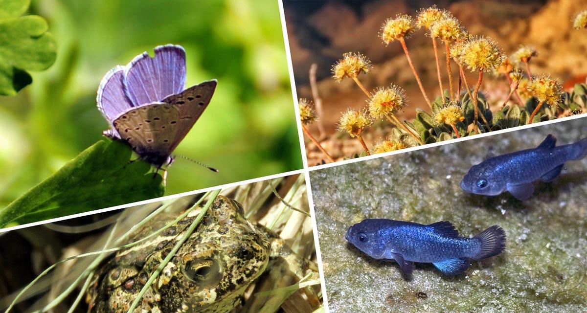 Mount Charleston blue butterfly, Tiehm's buckwheat, Devils Hole pupfish, Dixie Valley toad