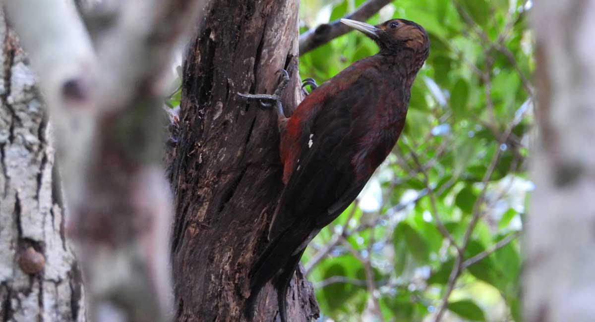 Okinawa woodpecker