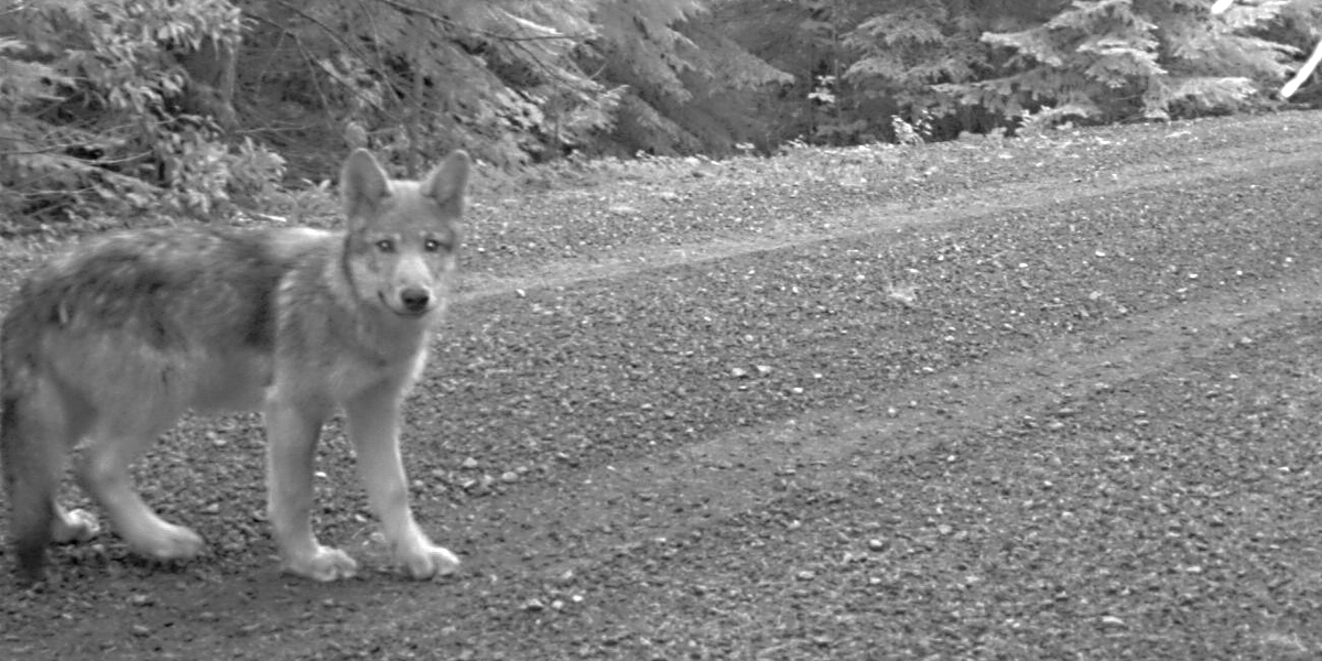 Oregon wolf puppy