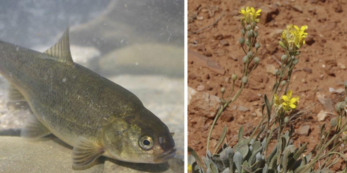 Owens Valley tui chub and thick-leaf bladderpod