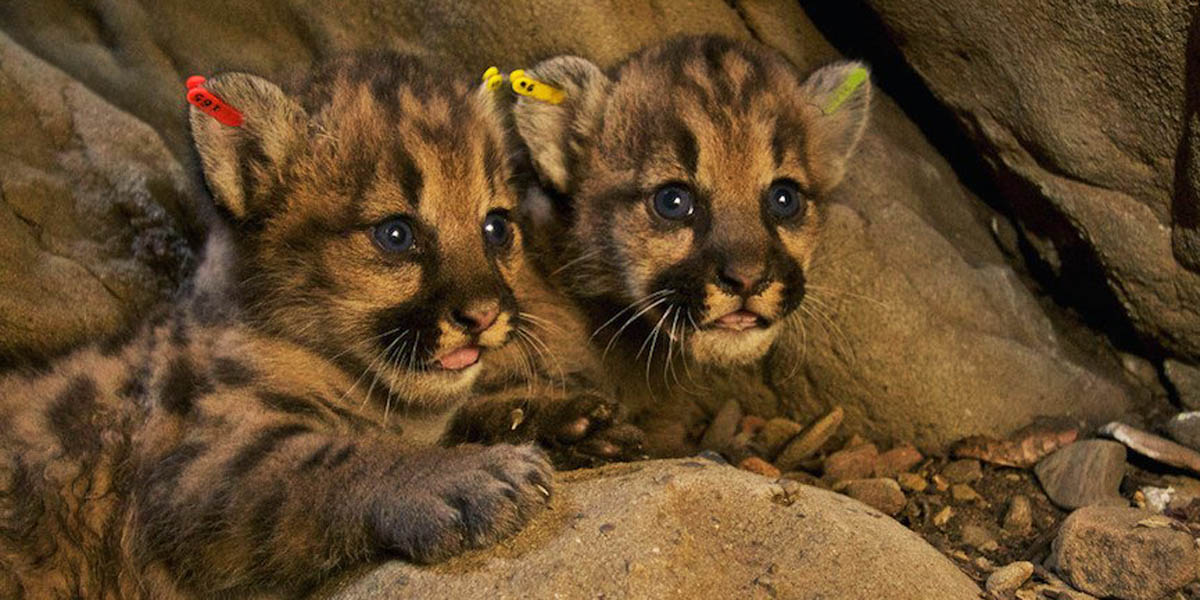 Mountain-lion kittens P-51 and P-52