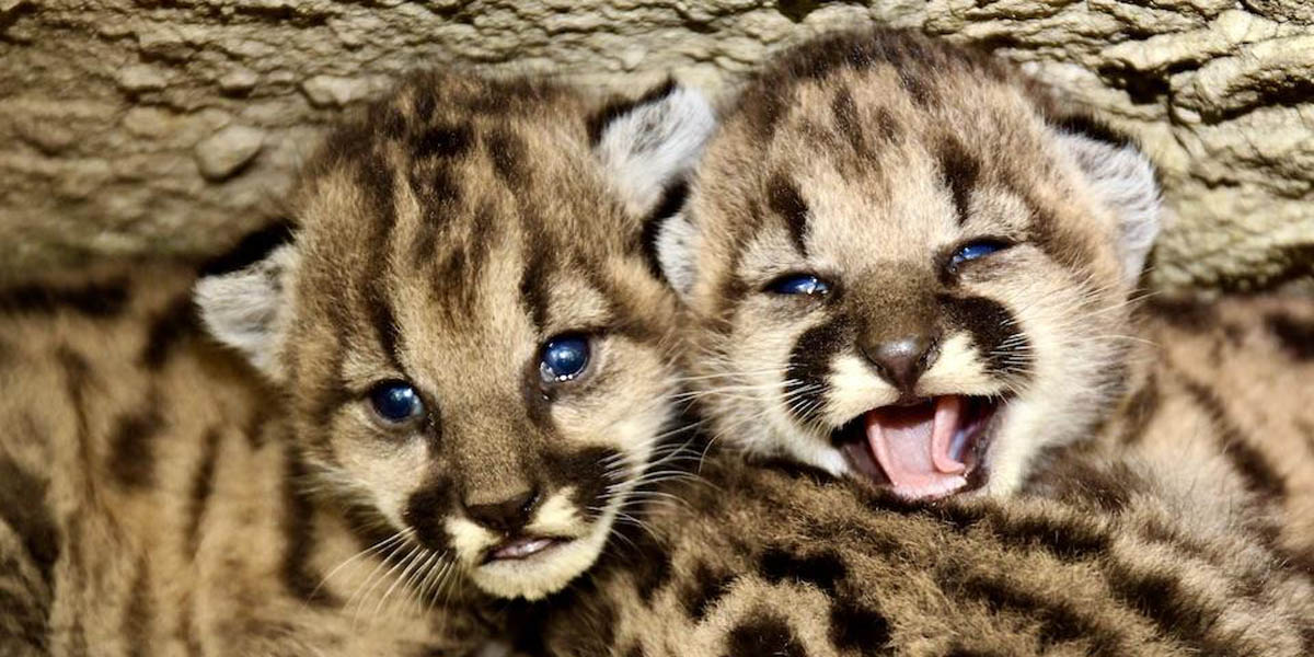 Southern California mountain lion PS-19's kittens