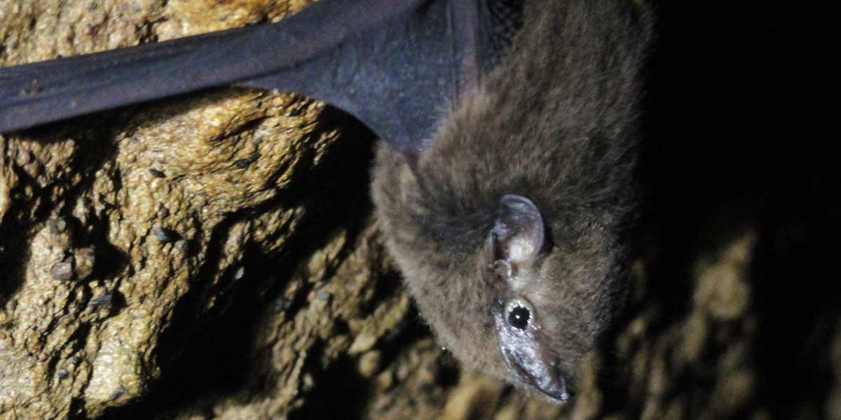 Pacific sheath-tailed bat