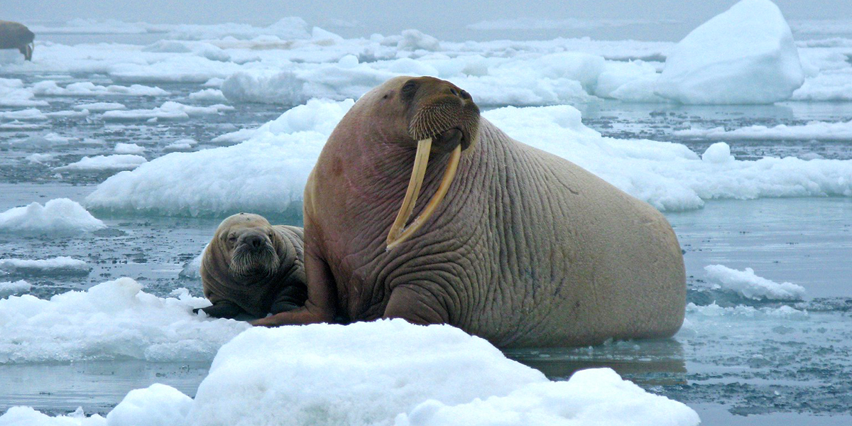 Pacific walruses by Sarah Sonsthagen/USGS