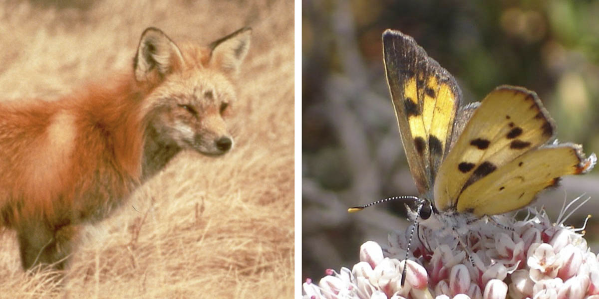Sierra Nevada red fox and Hermes copper butterfly