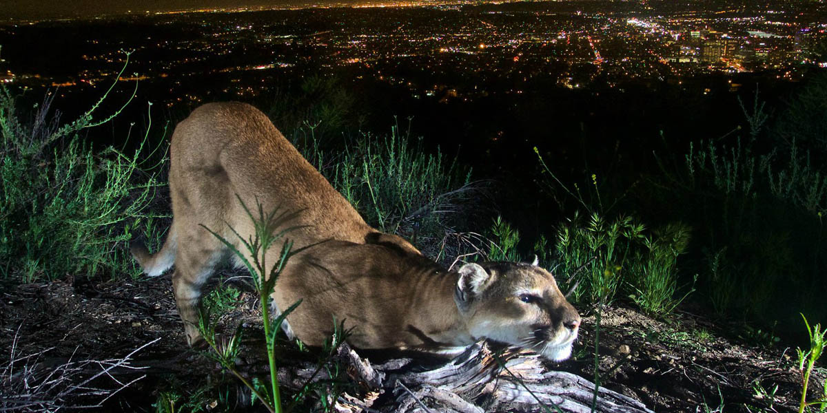 Southern California mountain lion