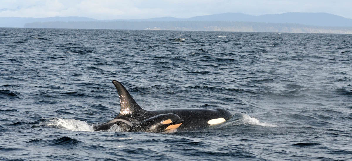 Southern Resident killer whale and calf