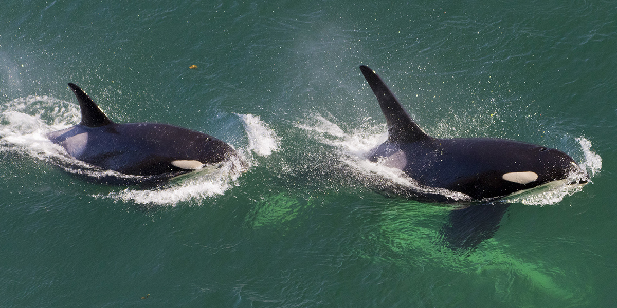 Southern Resident orcas by Miles Ritter/Flickr
