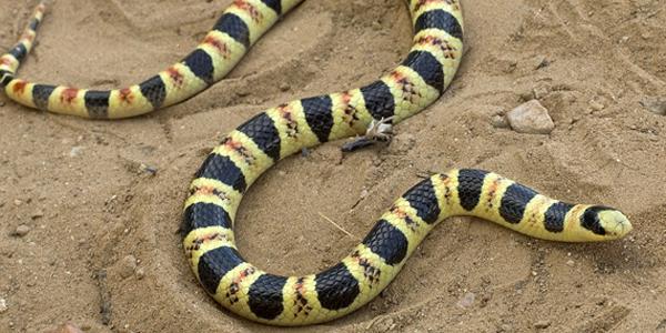 Tucson shovel-nosed snake