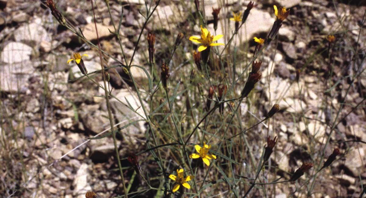 Beardless chinchweed flowers