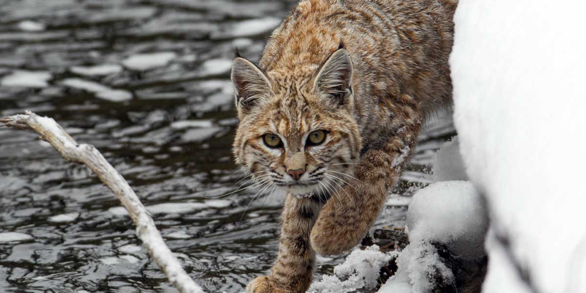 Bobcat in Yellowstone National Park