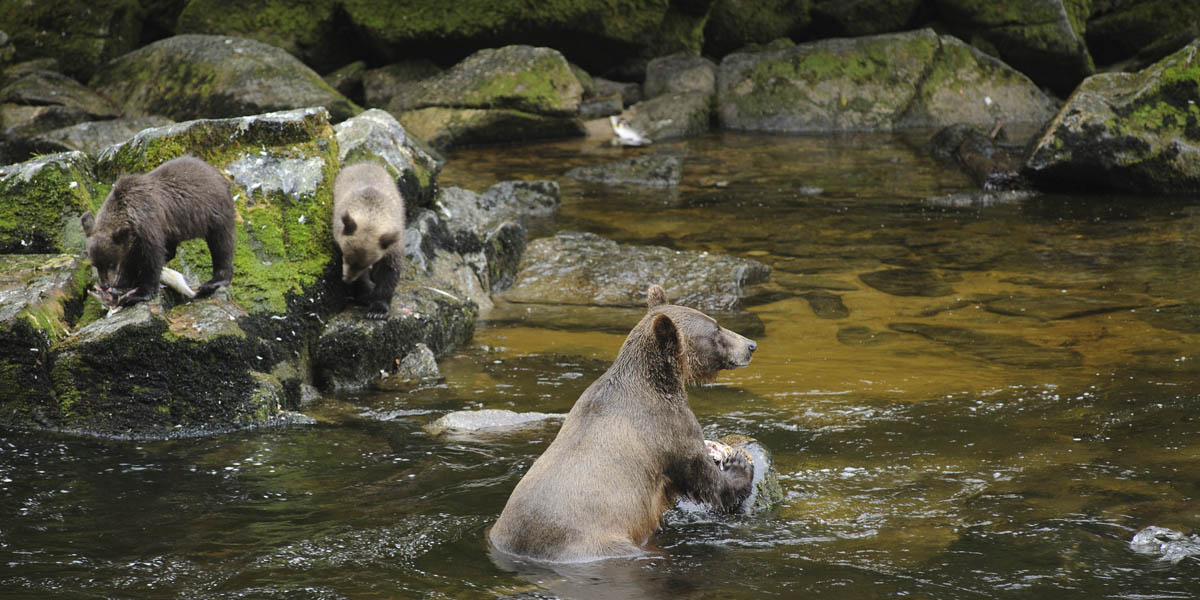 Brown bears at Tongass National Forest