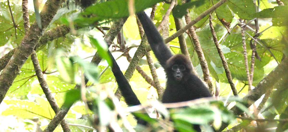 Brown-headed spider monkey