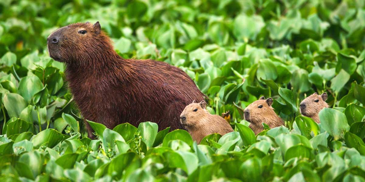 Cabybara mother and pups