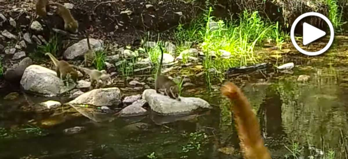 Coati mother and kittens crossing a stream