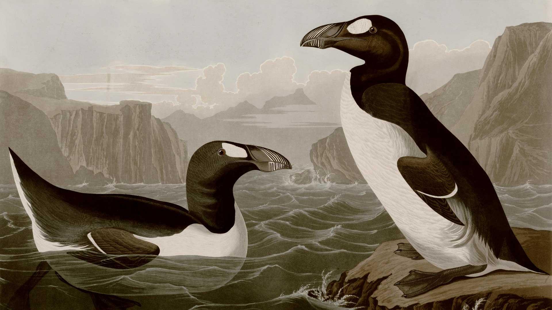 Illustration of great auks