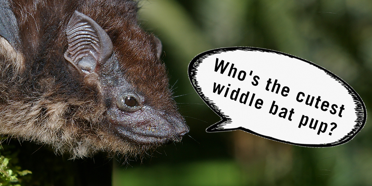 Greater sac-winged bat