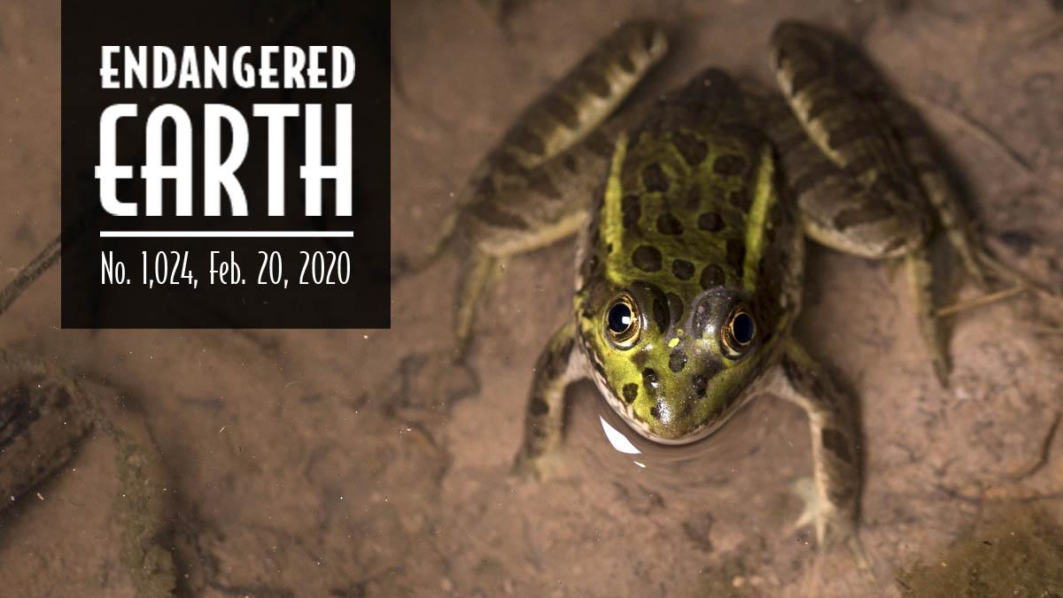 Chiricahua leopard frog