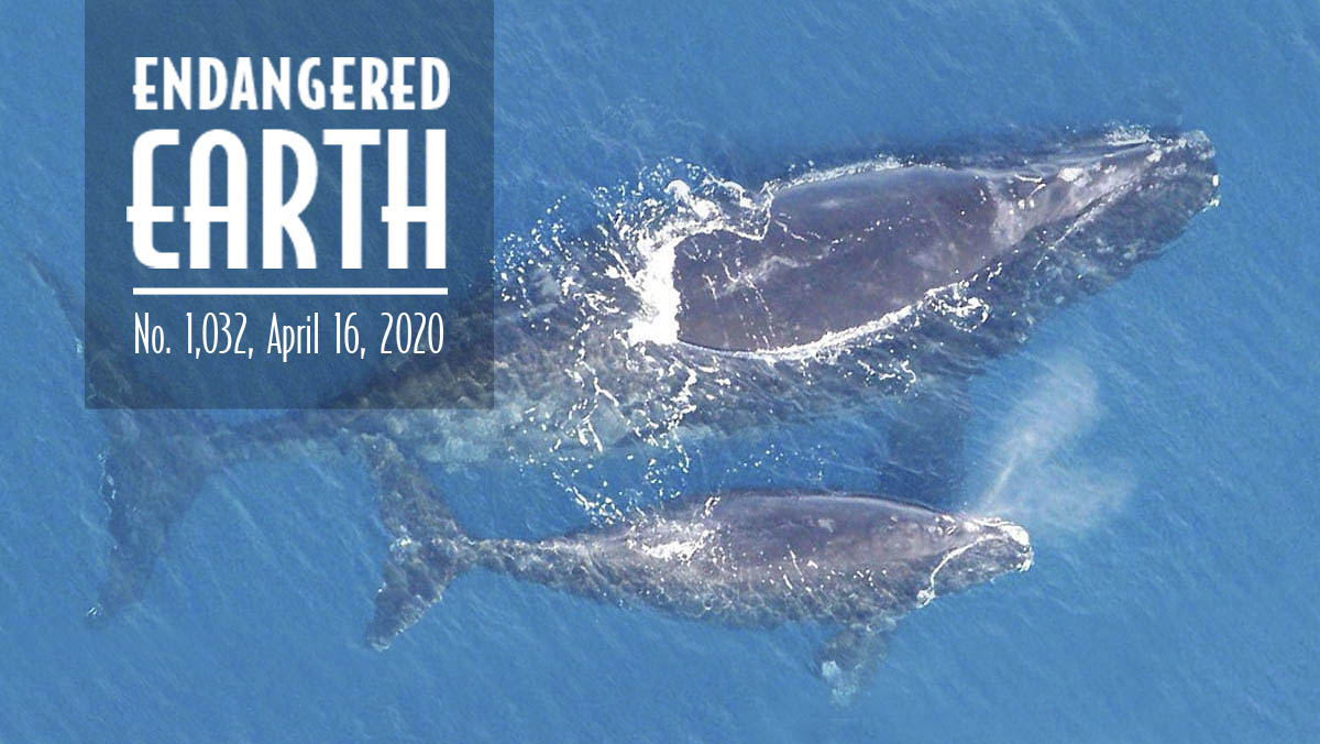 North Atlantic right whales