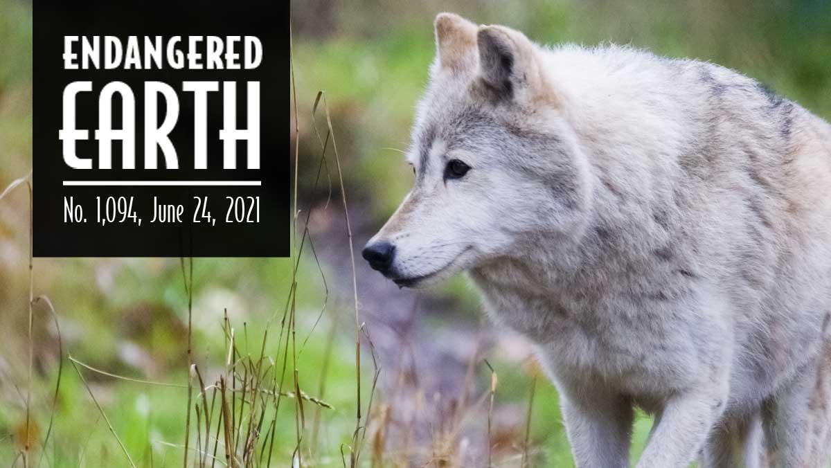 Gray wolf in Washington
