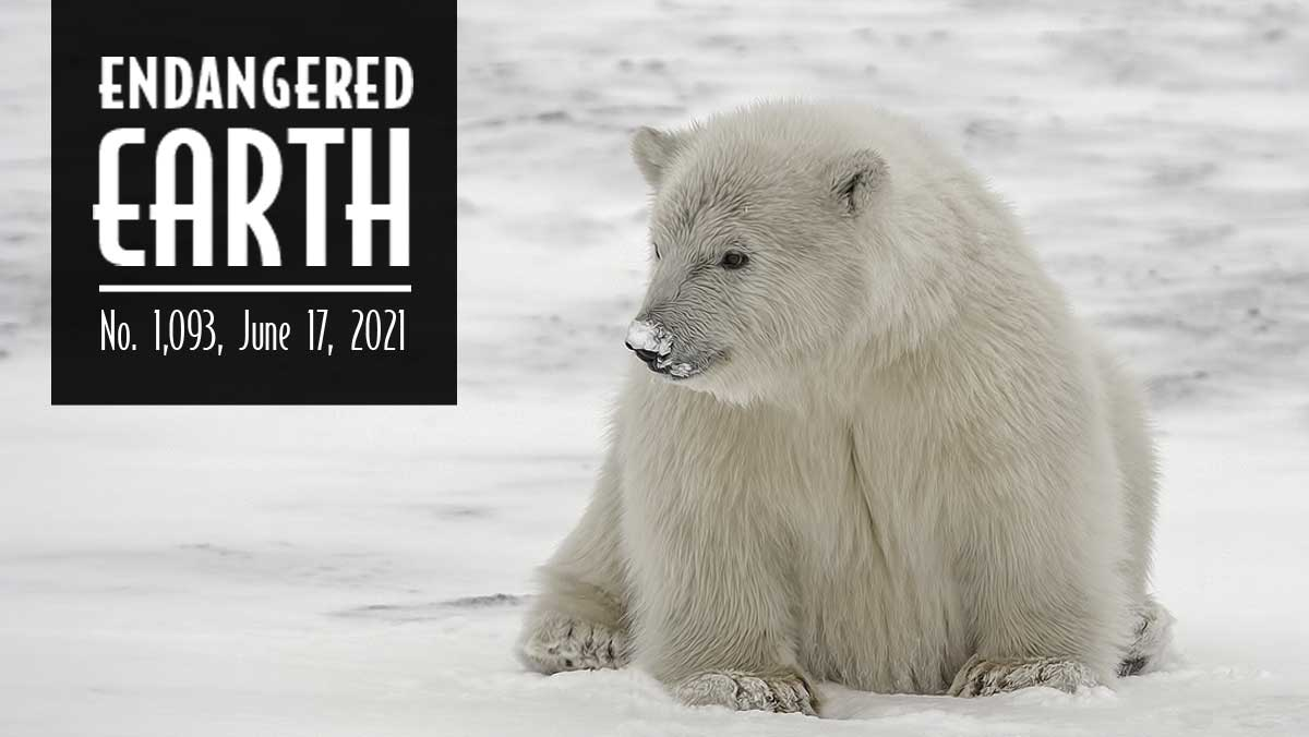 Polar bear cub sitting in snow