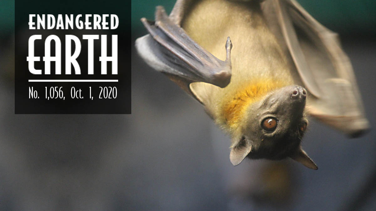Straw-colored bat