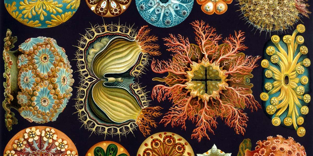 Illustration Ernst Haeckel