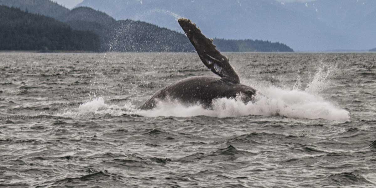 Juvenile fin whale breaching
