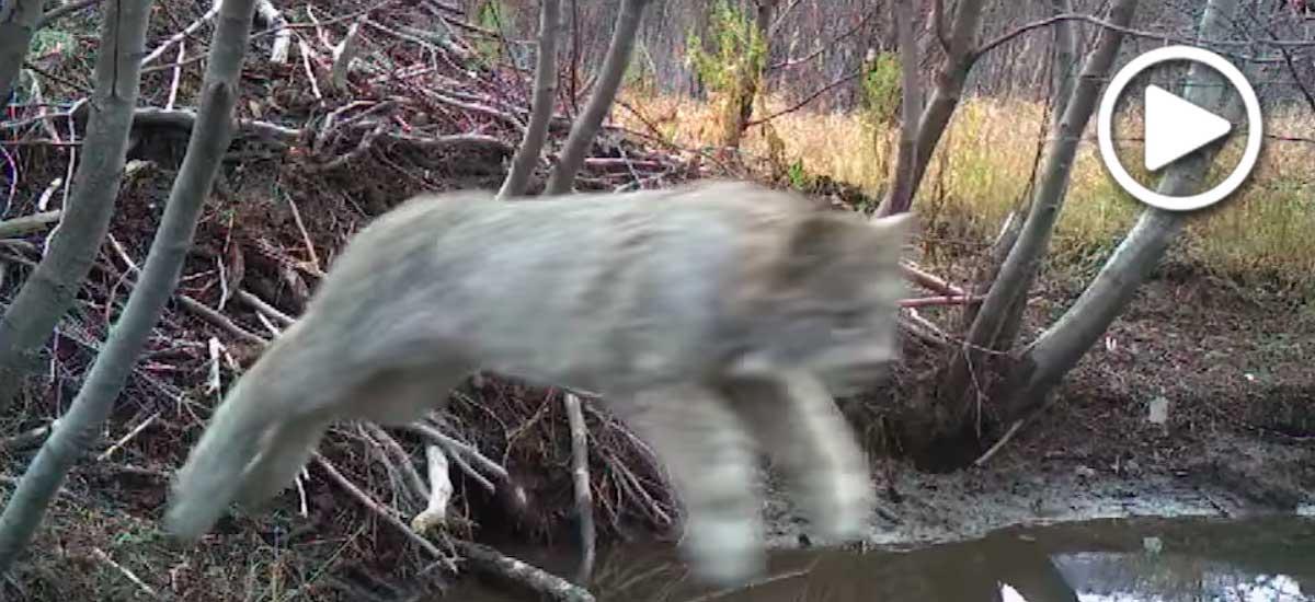 Jumping lynx video screenshot