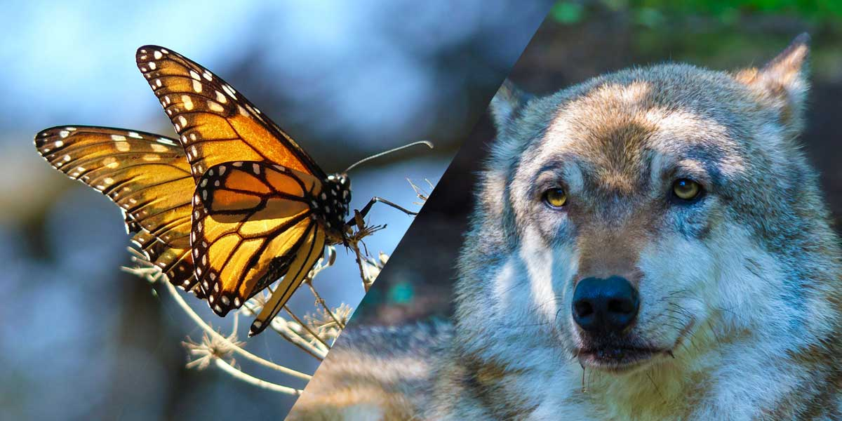Monarch butterfly and wolf