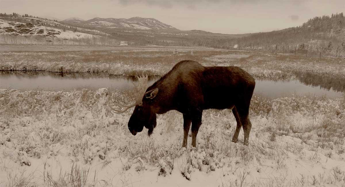 Moose in the Yukon Wildlife Preserve