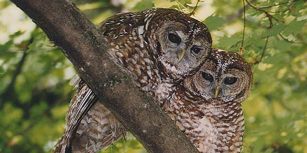 Northern spotted owls