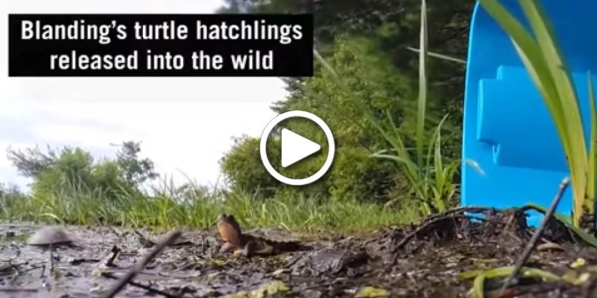 Blanding's turtle hatchlings