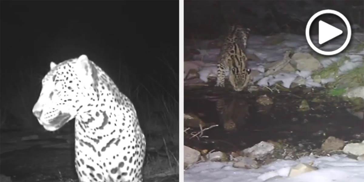 Jaguar and ocelot
