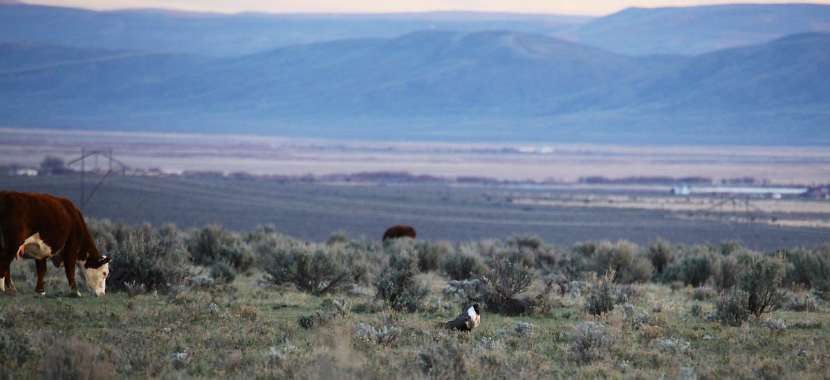 Cow grazing near sage grouse