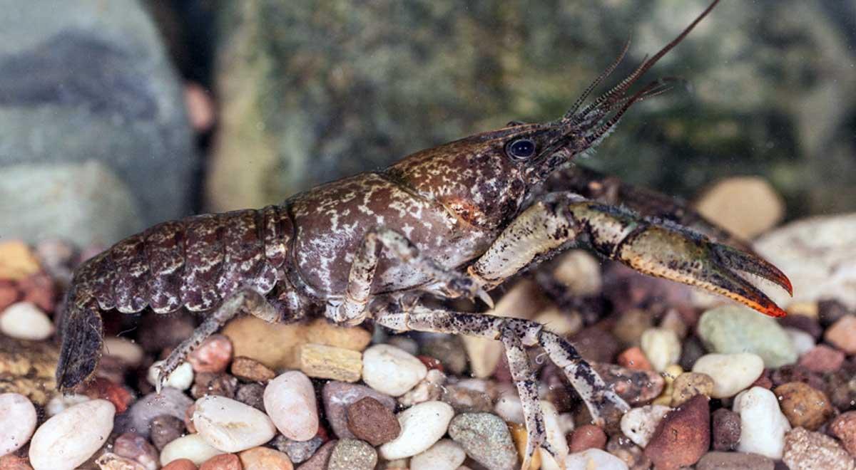 Slenderclaw crayfish