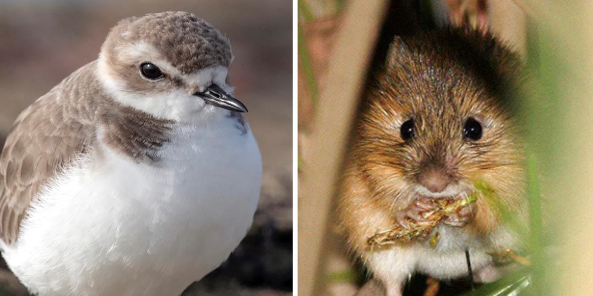 Snowy plover and New Mexico meadow jumping mouse