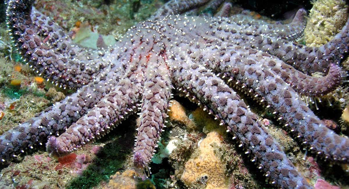 Sunflower sea star